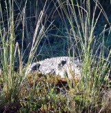 Here's a closeup photo showing how crocodiles use camouflage