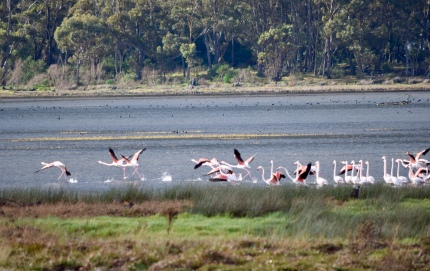 Our photo of flamingos - on the Net there's info on places you can see them in/near Cape Town