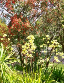 KANGAROO PAW (YELLOW FLOWER) and RED CHRISTMAS BUSH