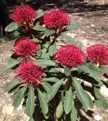 Waratah at National Botanic Gardens